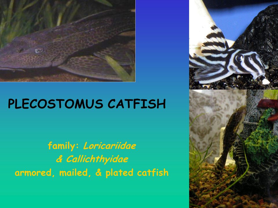 armored, mailed, & plated catfish