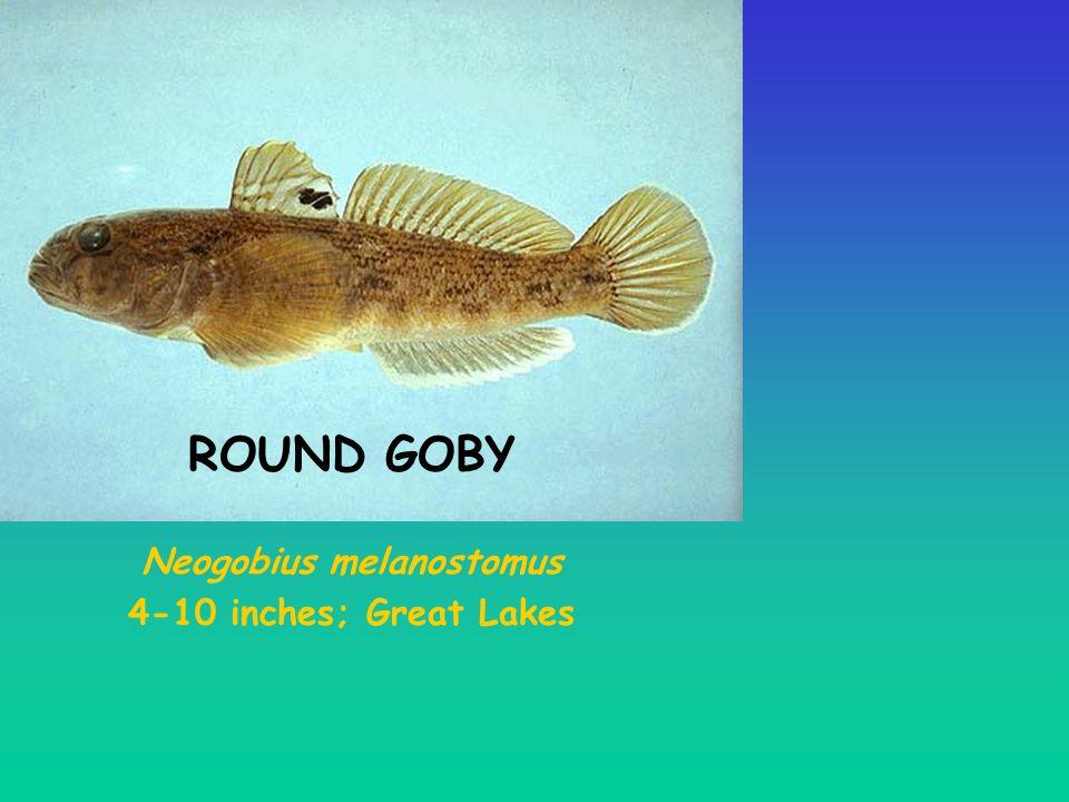 Neogobius melanostomus 4-10 inches; Great Lakes