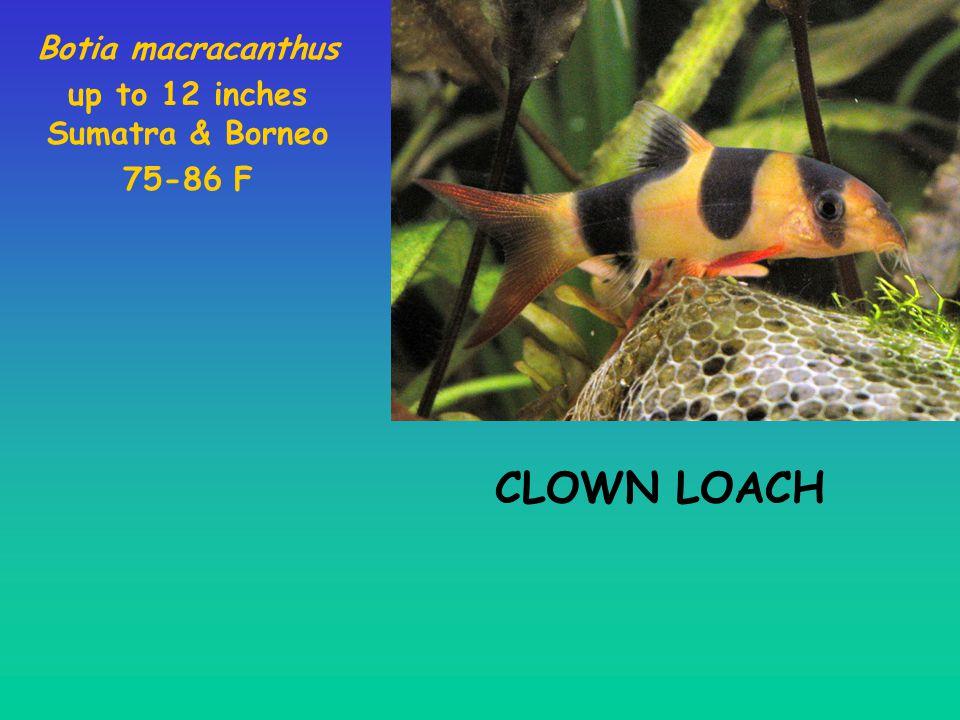 Botia macracanthus up to 12 inches Sumatra & Borneo 75-86 F