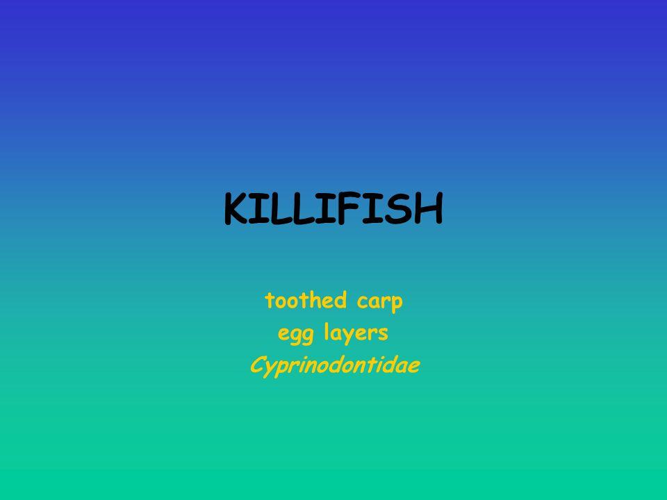 toothed carp egg layers Cyprinodontidae