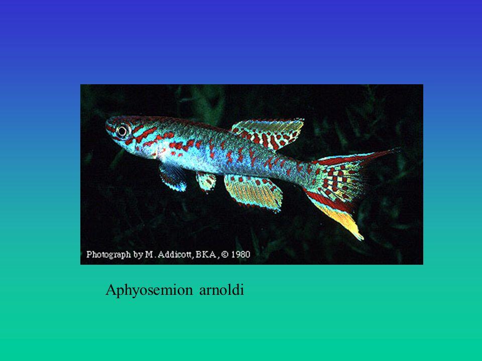 Aphyosemion arnoldi