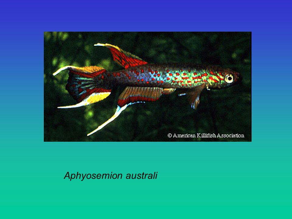 Aphyosemion australi