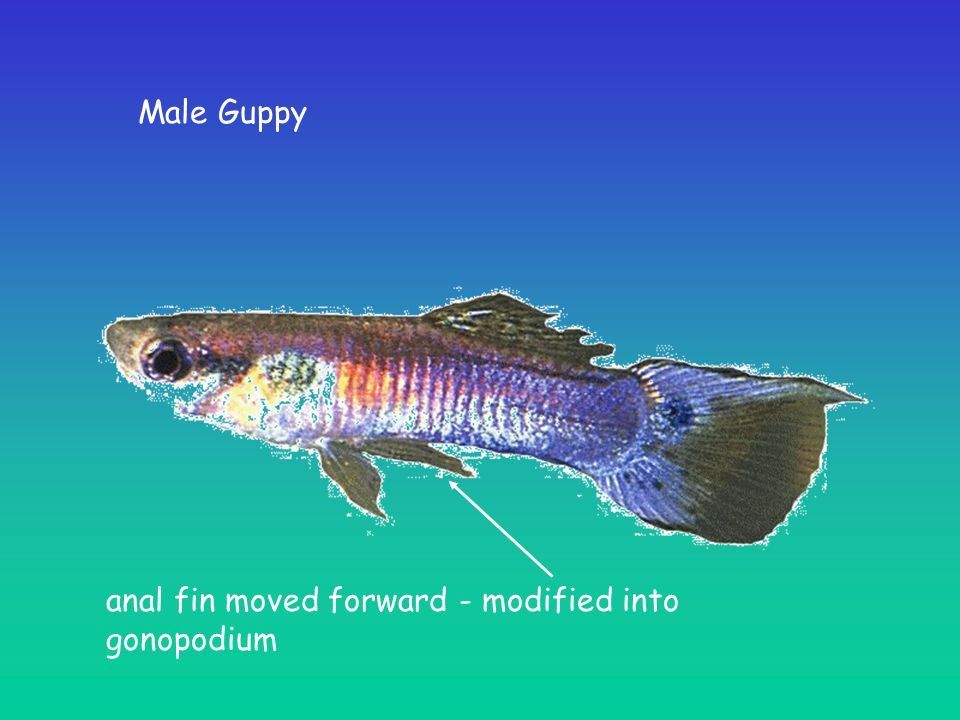 Male Guppy anal fin moved forward - modified into gonopodium