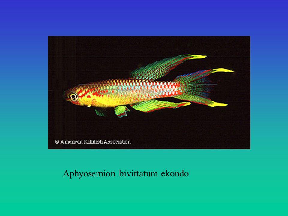 Aphyosemion bivittatum ekondo