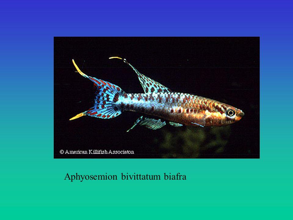 Aphyosemion bivittatum biafra