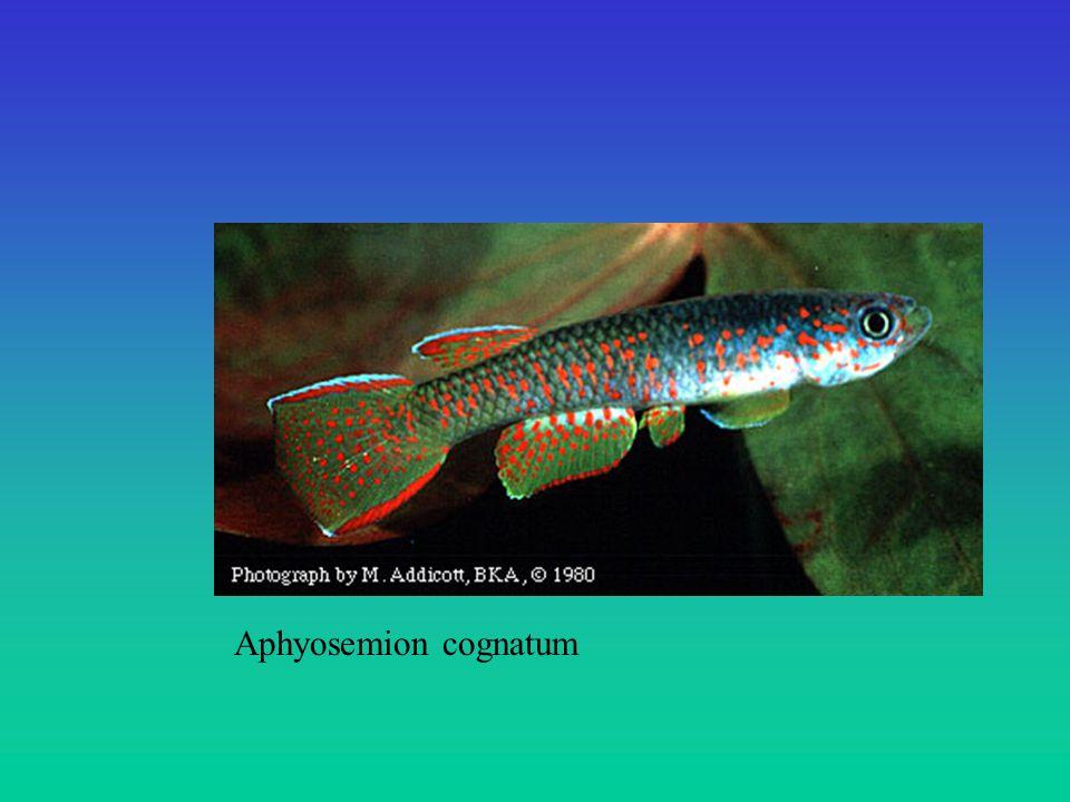 Aphyosemion cognatum