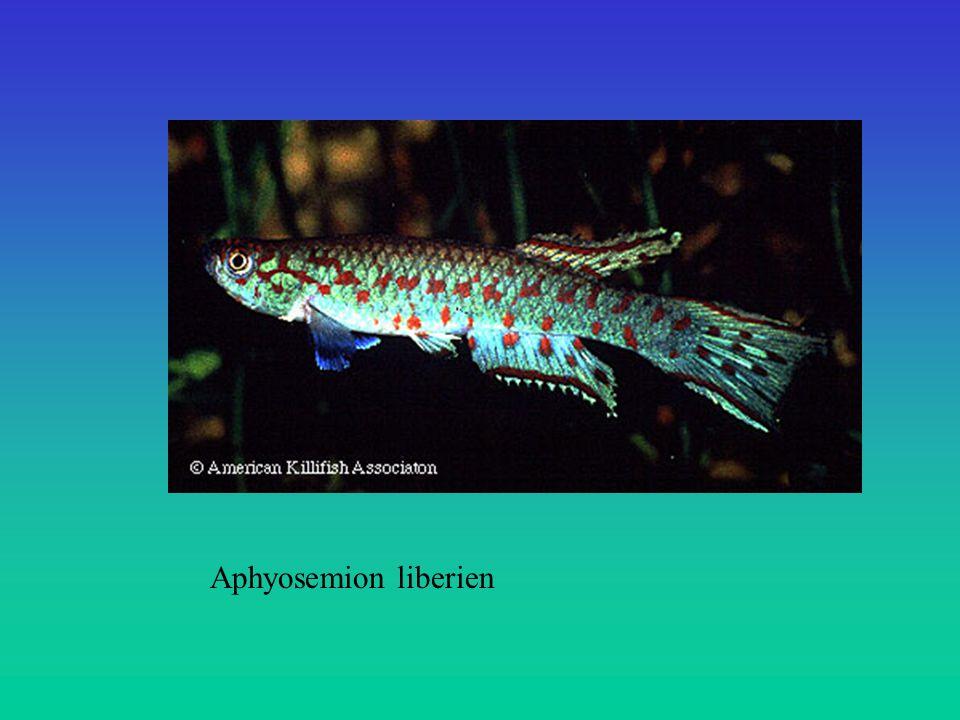 Aphyosemion liberien