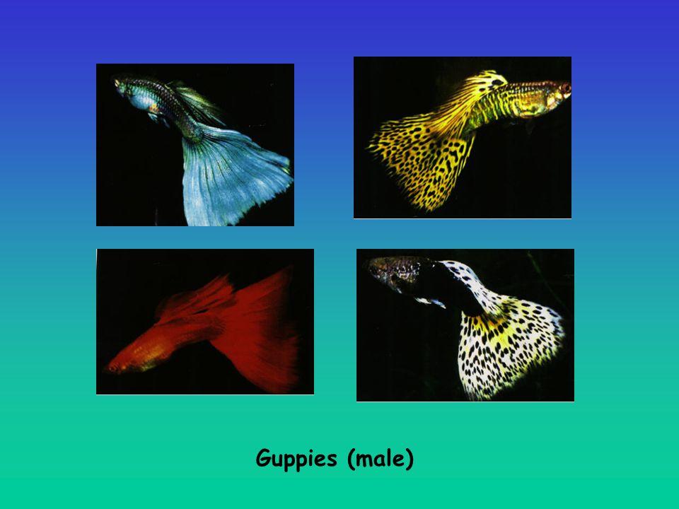 Guppies (male)