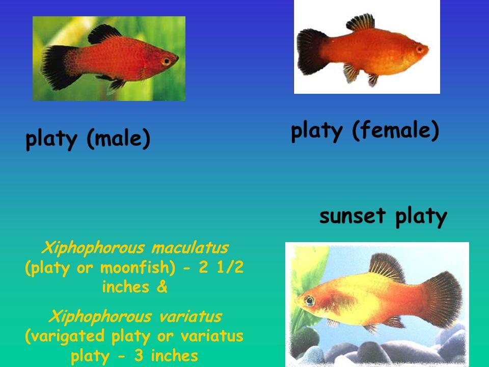 platy (female) platy (male) sunset platy
