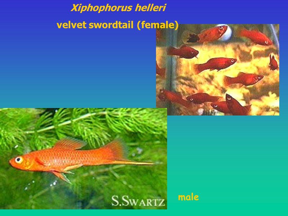 velvet swordtail (female)