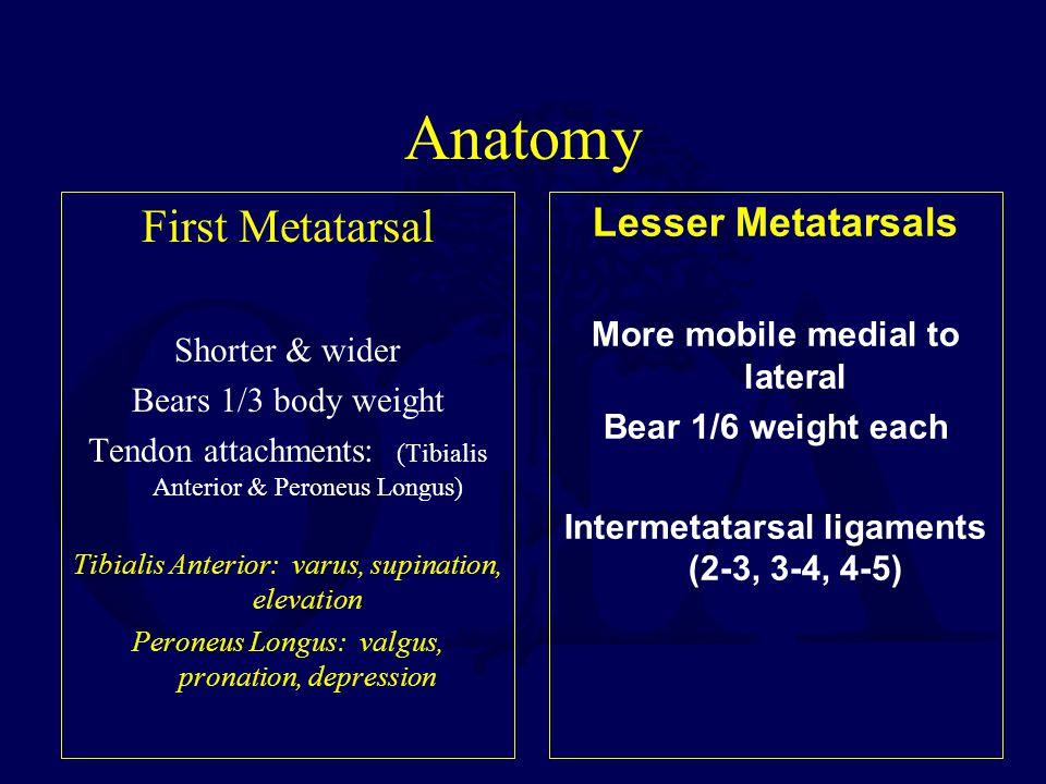 Anatomy First Metatarsal Lesser Metatarsals