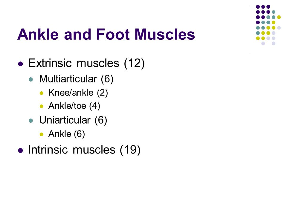 Ankle and Foot Muscles Extrinsic muscles (12) Intrinsic muscles (19)