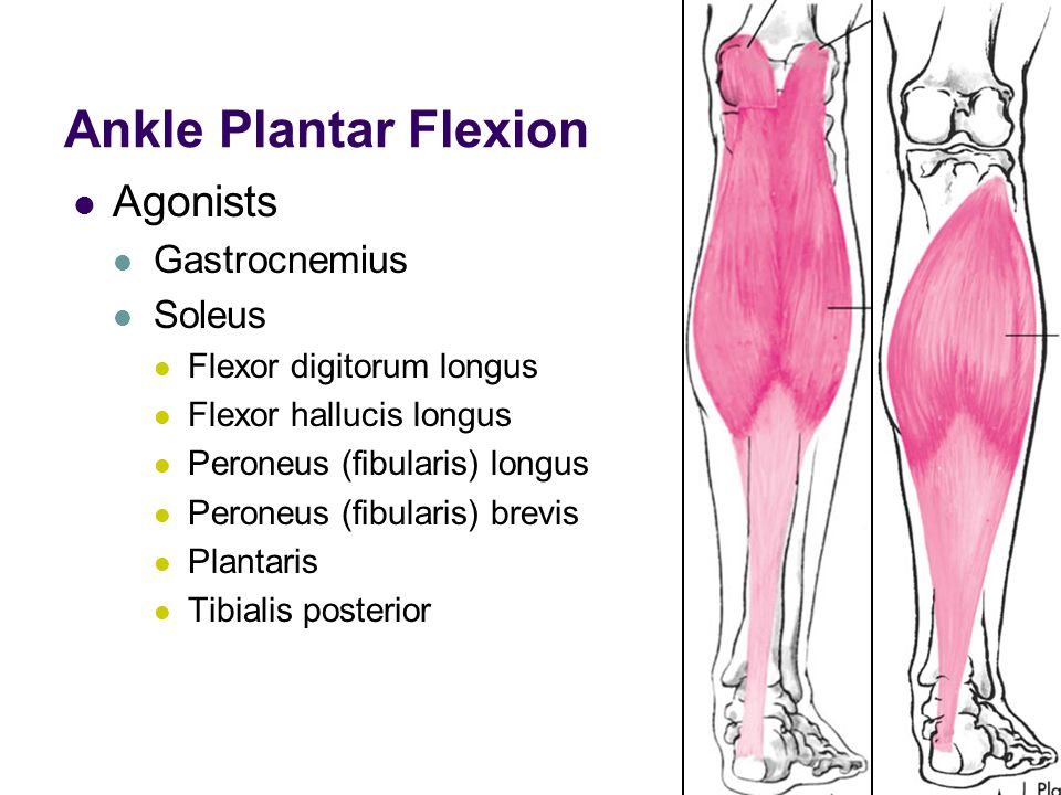 Ankle Plantar Flexion Agonists Gastrocnemius Soleus