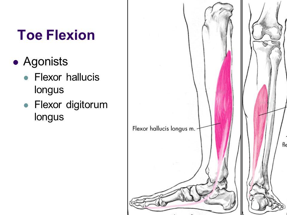 Toe Flexion Agonists Flexor hallucis longus Flexor digitorum longus