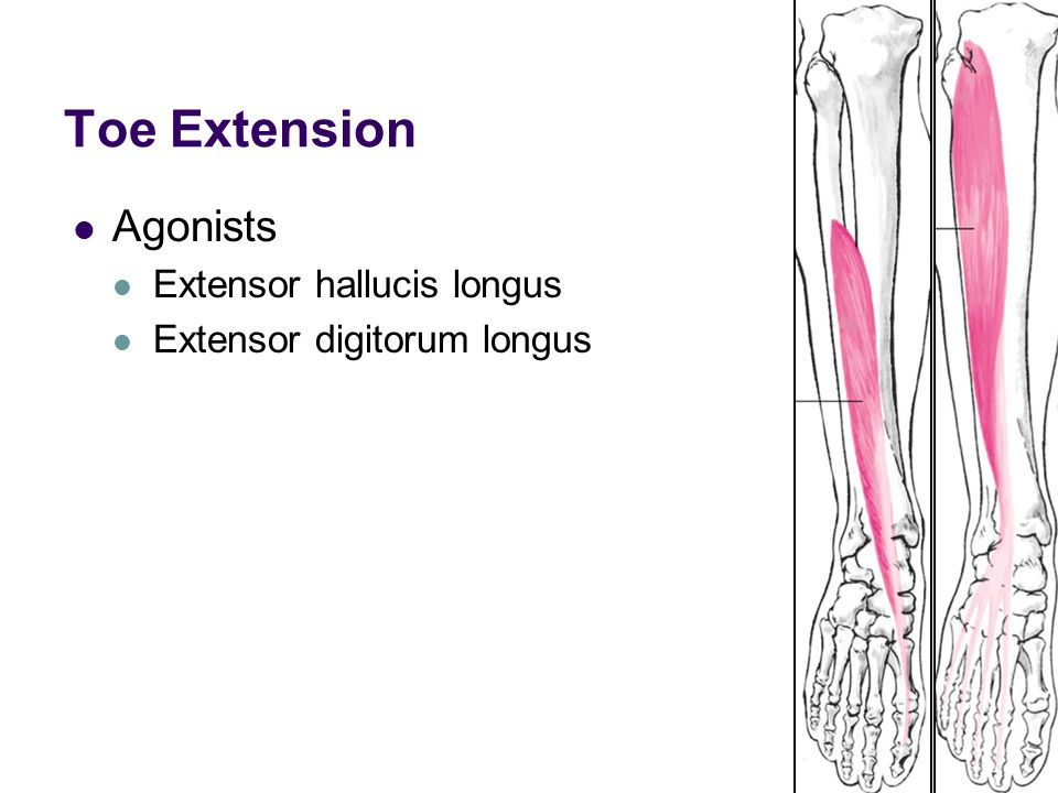 Toe Extension Agonists Extensor hallucis longus