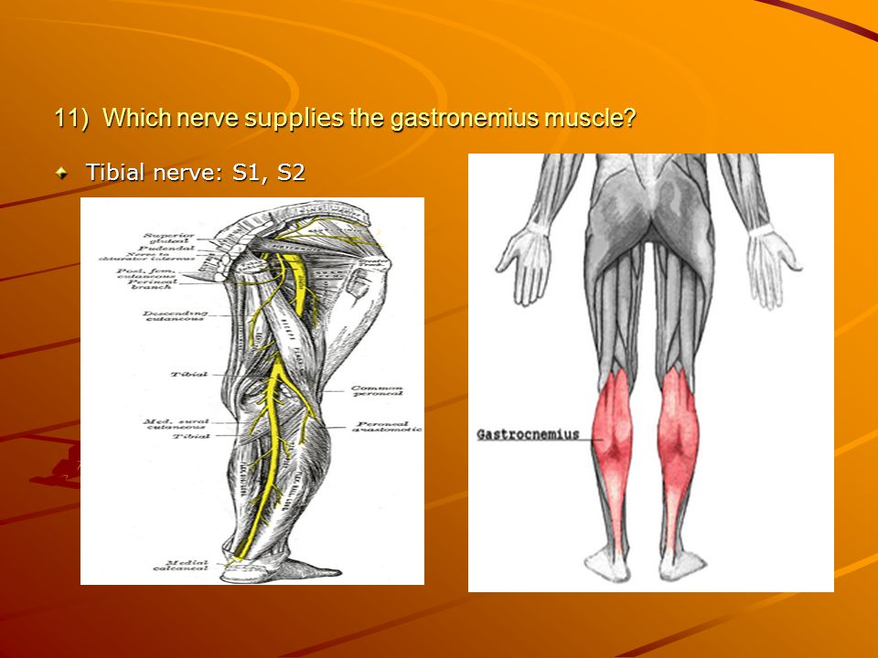 11) Which nerve supplies the gastronemius muscle