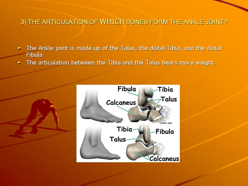 3) THE ARTICULATION OF WHICH BONES FORM THE ANKLE JOINT