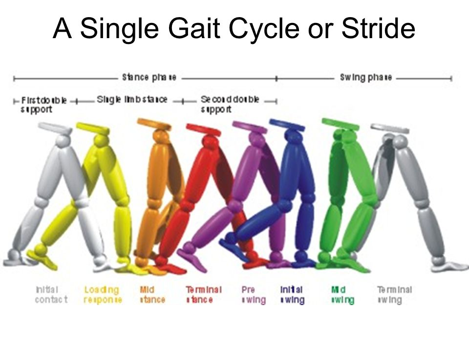 A Single Gait Cycle or Stride