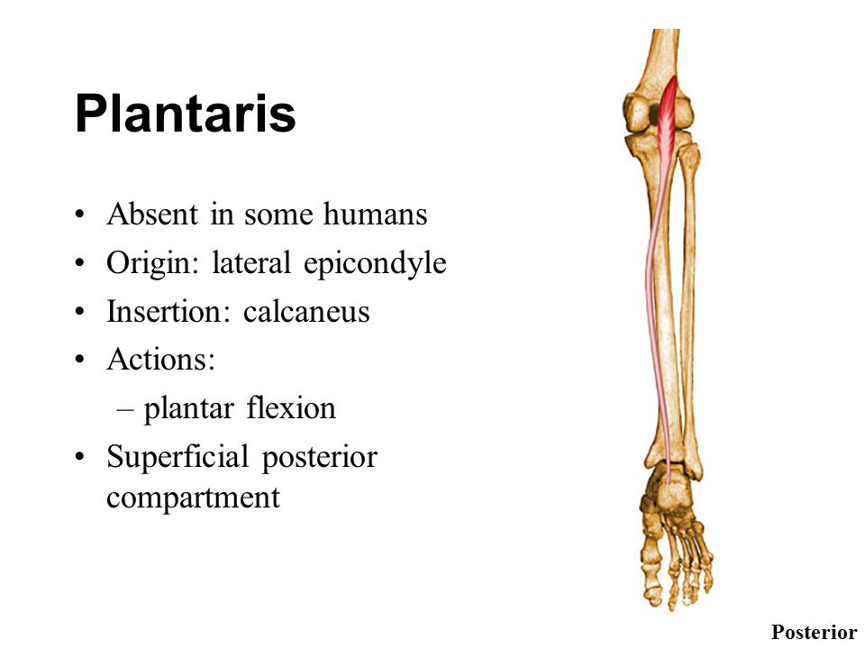 Plantaris Absent in some humans Origin: lateral epicondyle