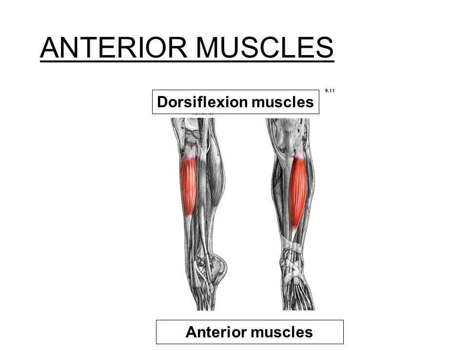 ANTERIOR MUSCLES Dorsiflexion muscles Anterior muscles