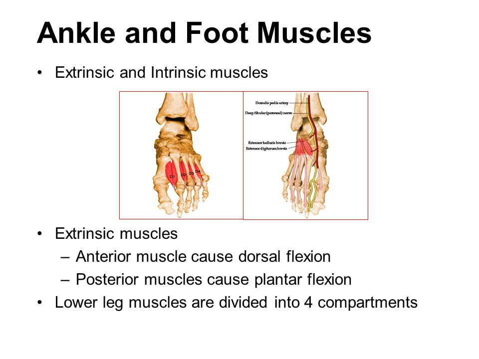 Ankle and Foot Muscles Extrinsic and Intrinsic muscles