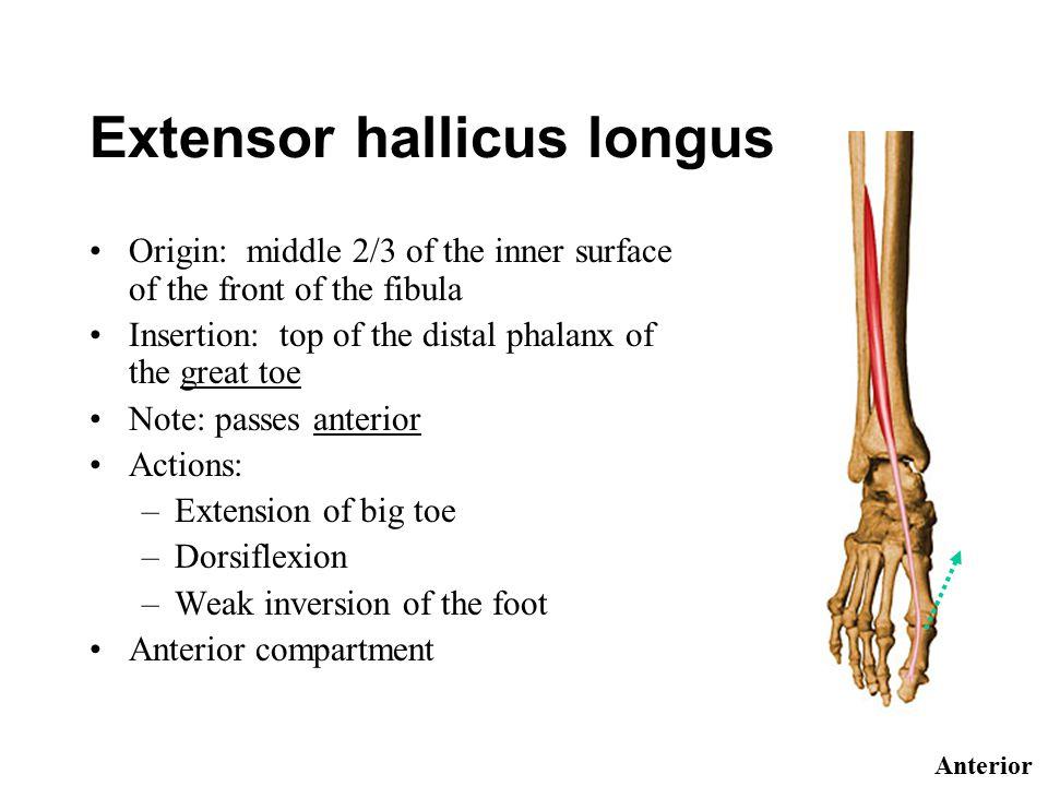 Extensor hallicus longus