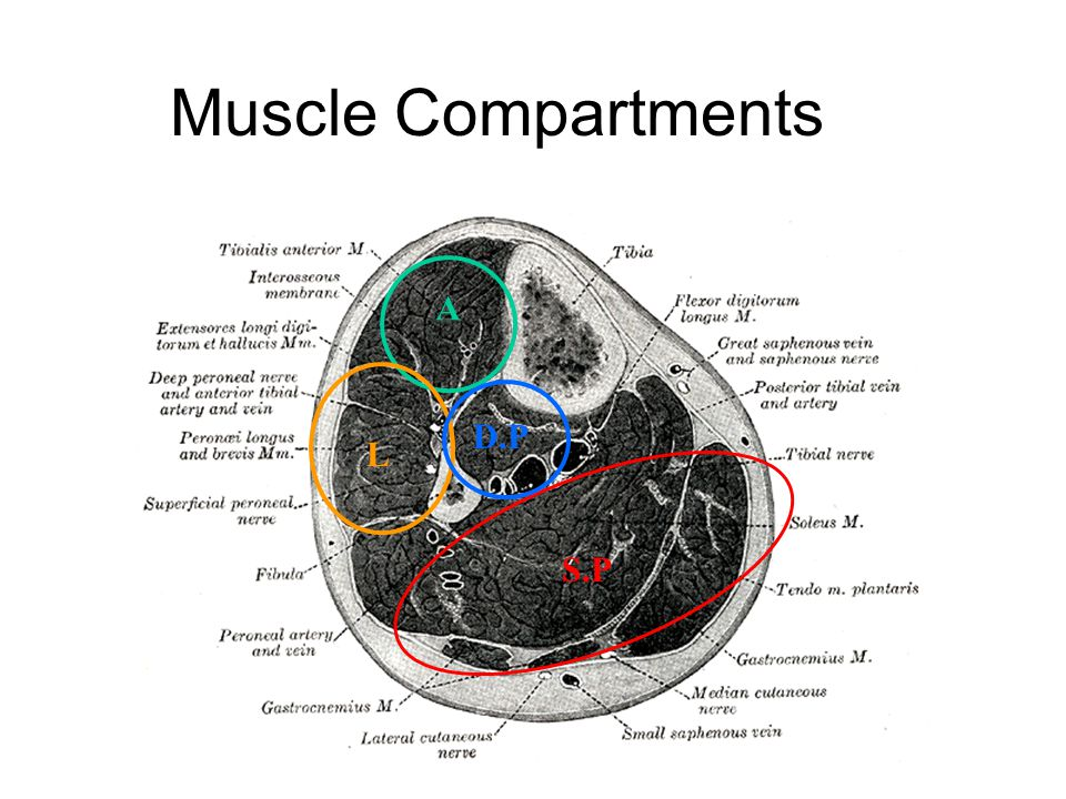 Muscle Compartments A D.P L S.P