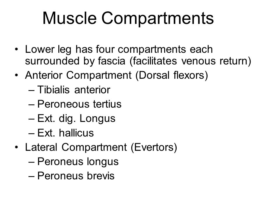 Muscle Compartments Lower leg has four compartments each surrounded by fascia (facilitates venous return)