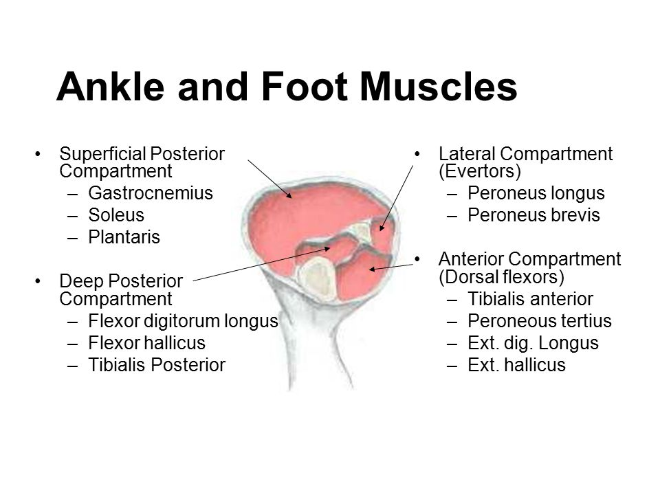 Ankle and Foot Muscles Superficial Posterior Compartment Gastrocnemius