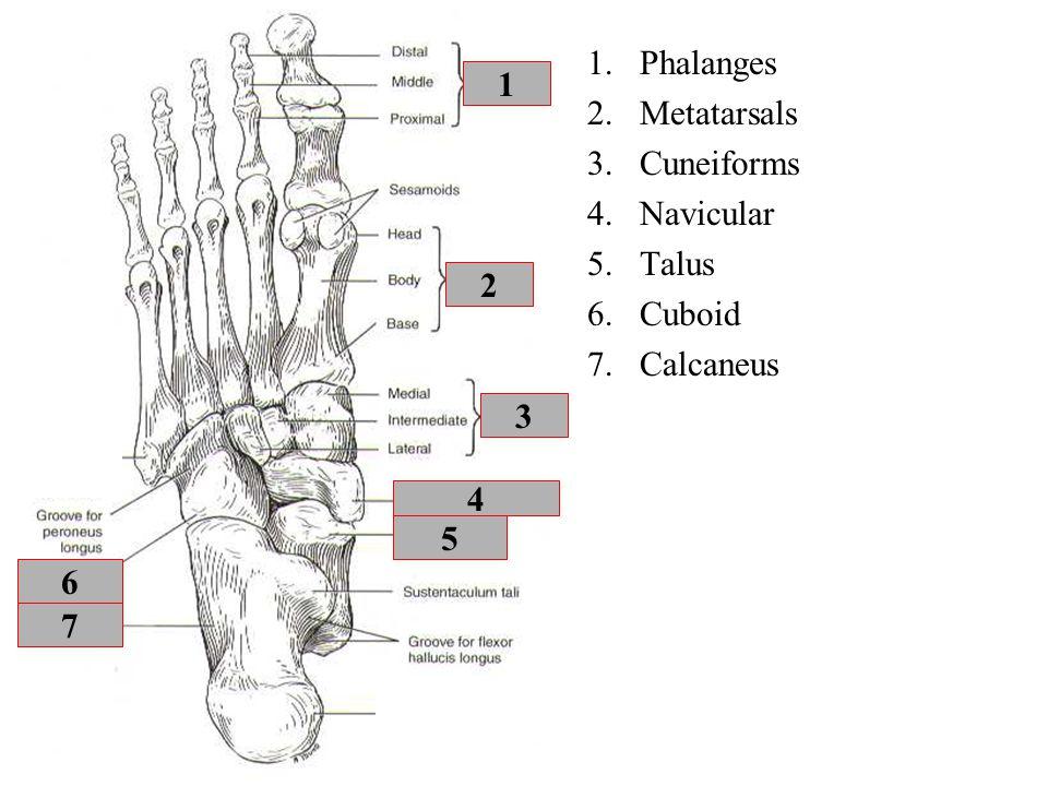 Phalanges Metatarsals Cuneiforms Navicular Talus Cuboid Calcaneus 1 2 3 4 5 6 7