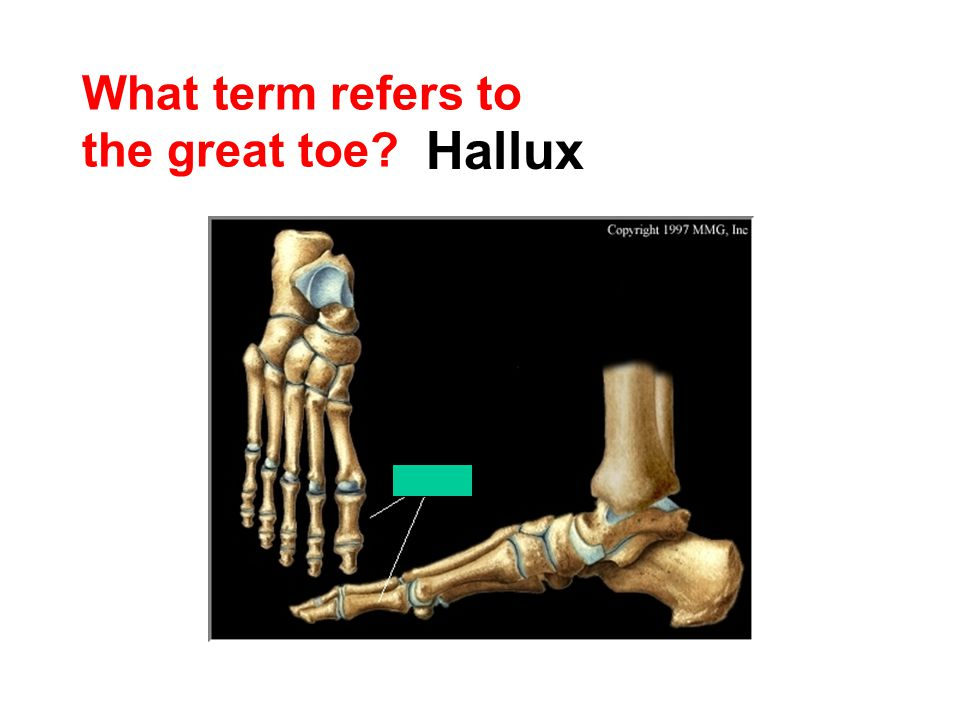 What term refers to the great toe