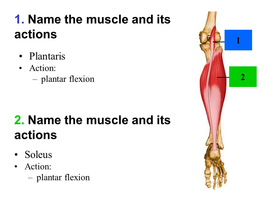 1. Name the muscle and its actions