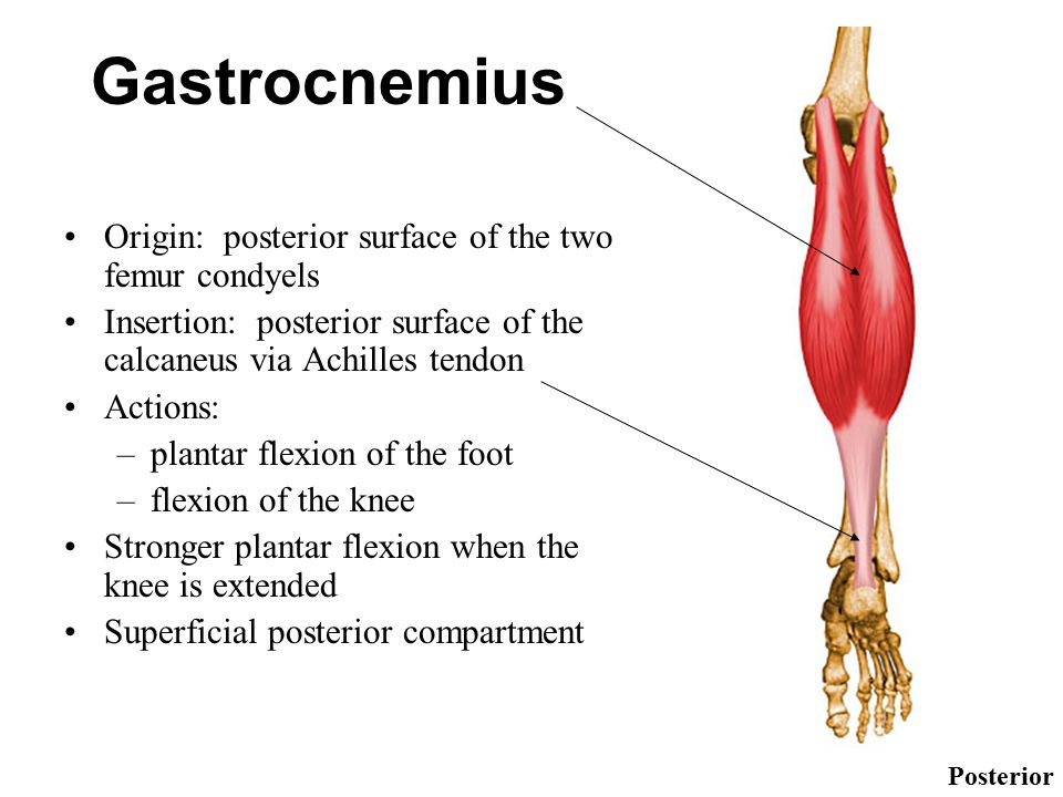 Gastrocnemius Muscle Origin And Insertion MUSCLES OF THE ANKLE A...