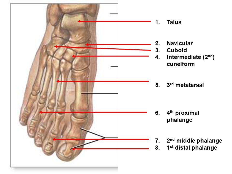 Talus Navicular. Cuboid. Intermediate (2nd) cuneiform. 3rd metatarsal. 4th proximal phalange. 2nd middle phalange.