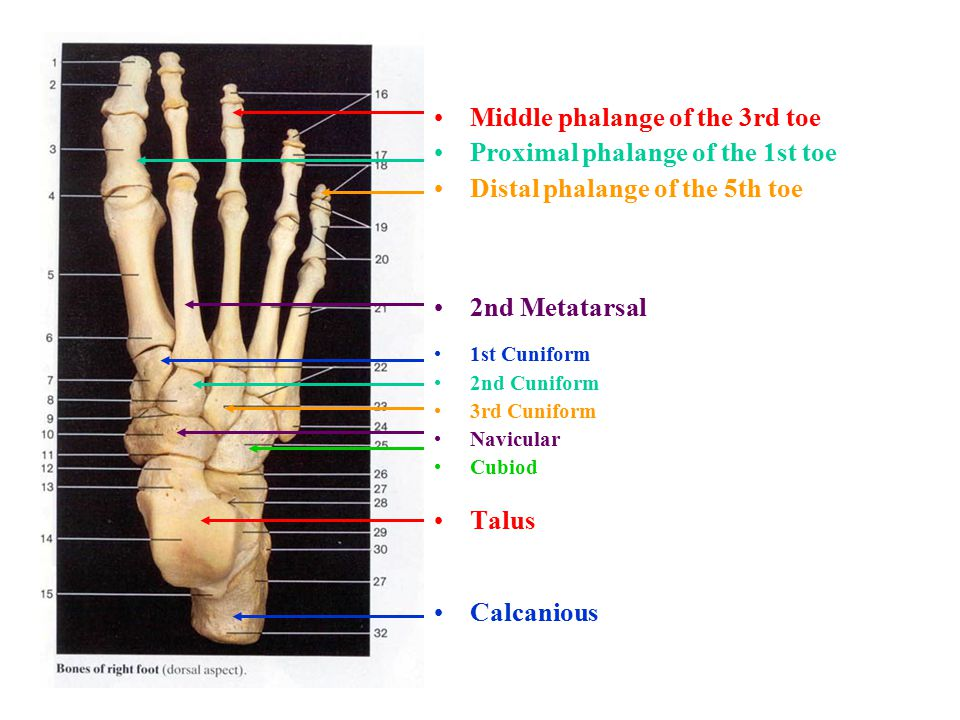 Middle phalange of the 3rd toe Proximal phalange of the 1st toe