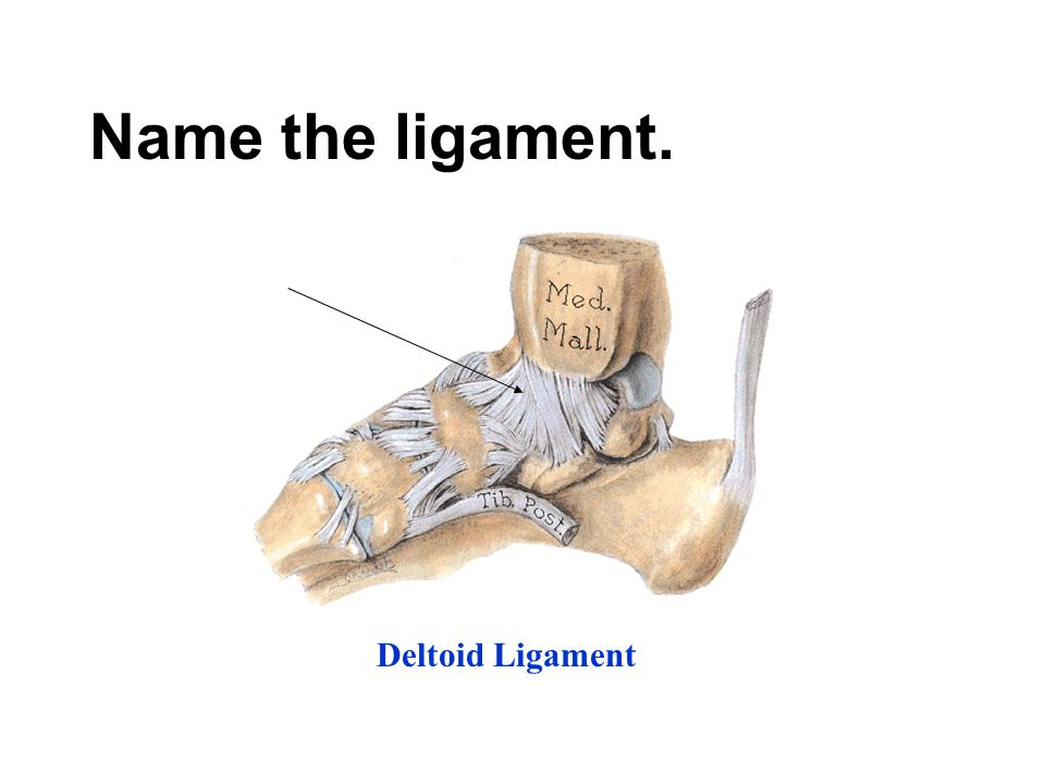 Name the ligament. Deltoid Ligament