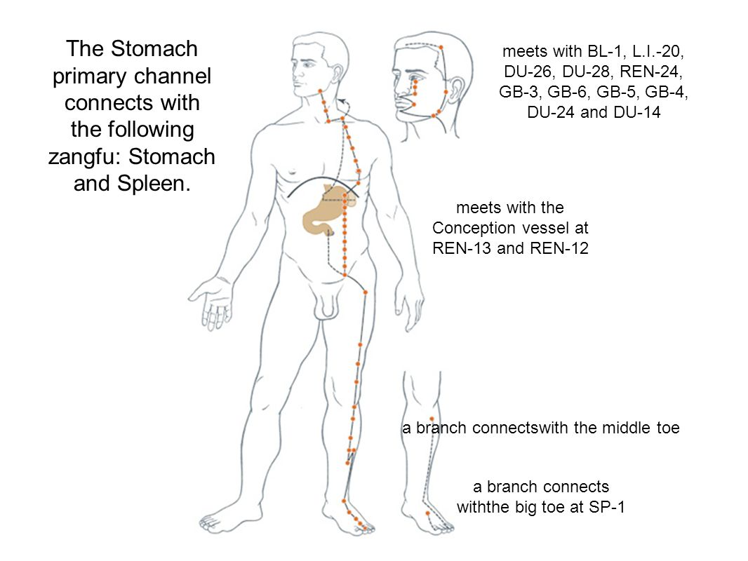 The Stomach primary channel connects with the following zangfu: Stomach and Spleen.