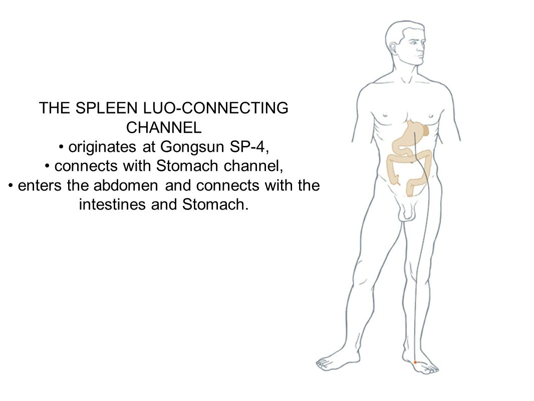 THE SPLEEN LUO-CONNECTING CHANNEL • originates at Gongsun SP-4,