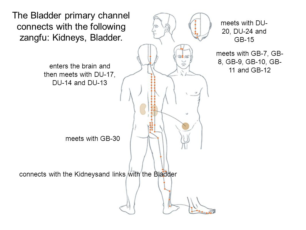 The Bladder primary channel connects with the following zangfu: Kidneys, Bladder.