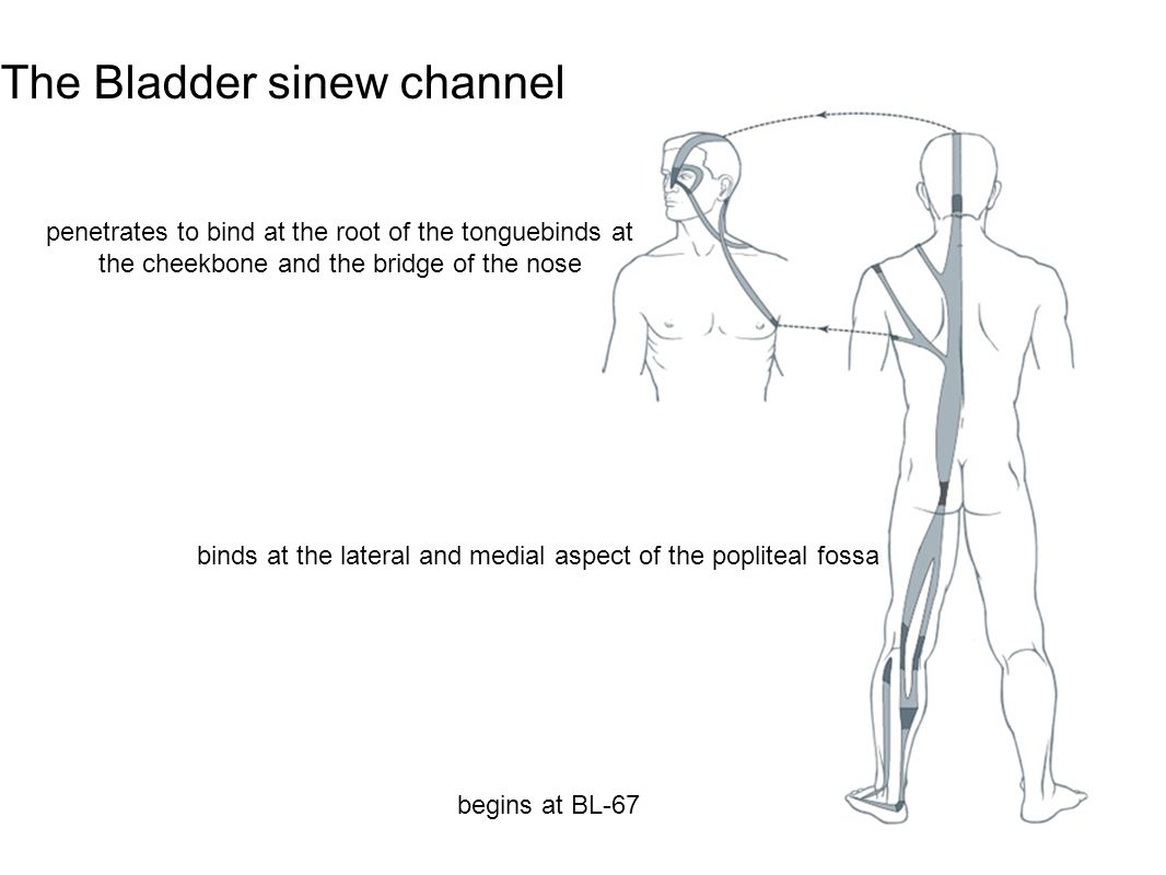The Bladder sinew channel