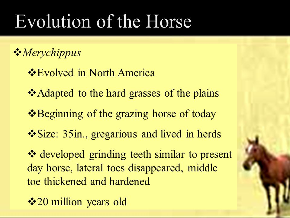 Evolution of the Horse Merychippus Evolved in North America