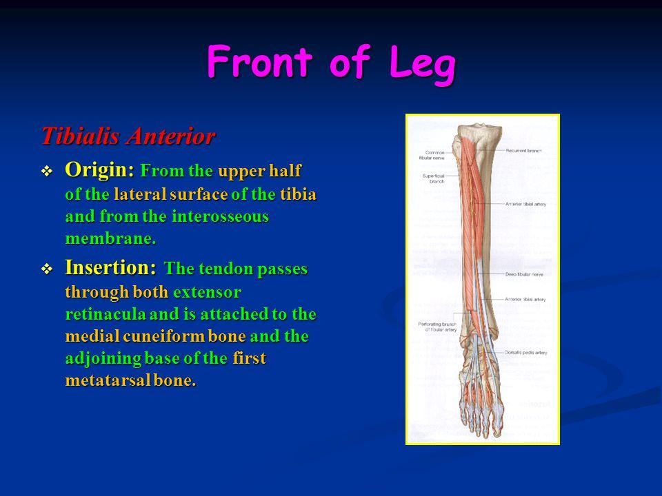 Front of Leg Tibialis Anterior