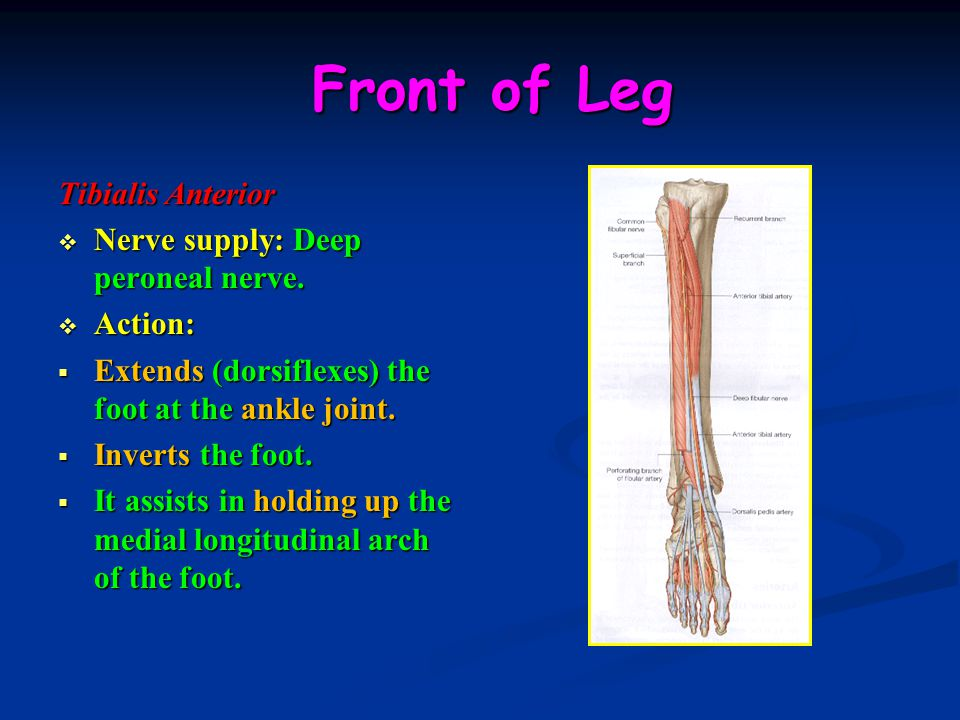 Front of Leg Tibialis Anterior Nerve supply: Deep peroneal nerve.