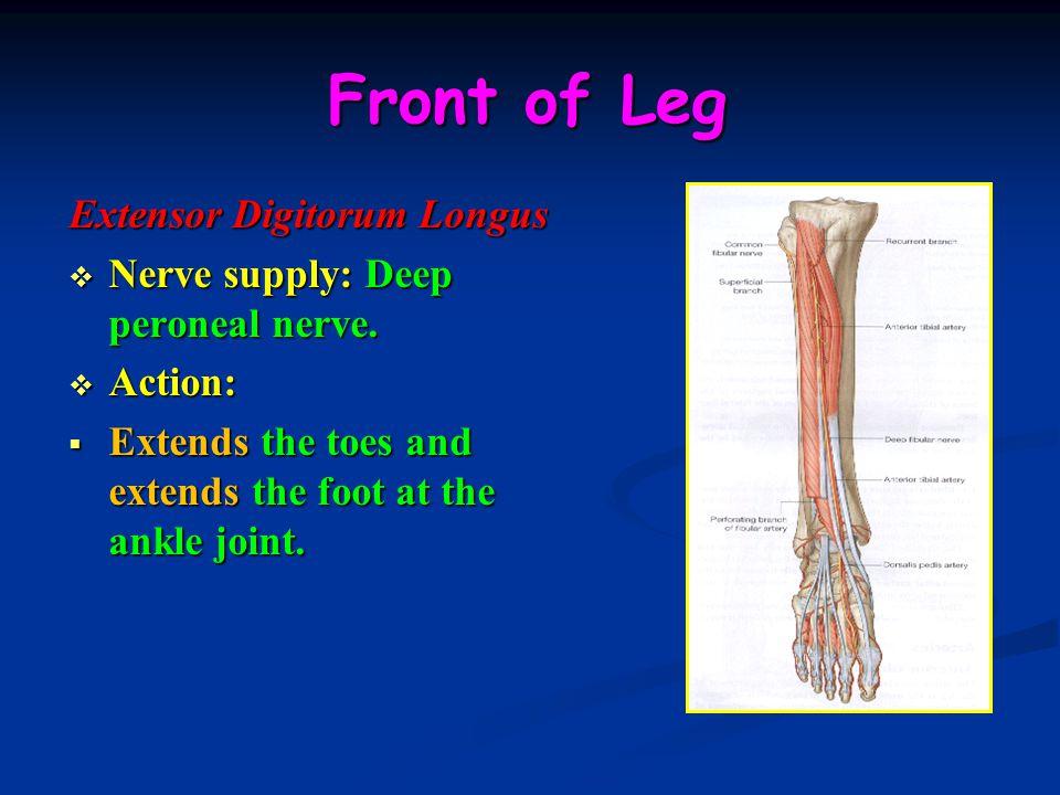 Front of Leg Extensor Digitorum Longus
