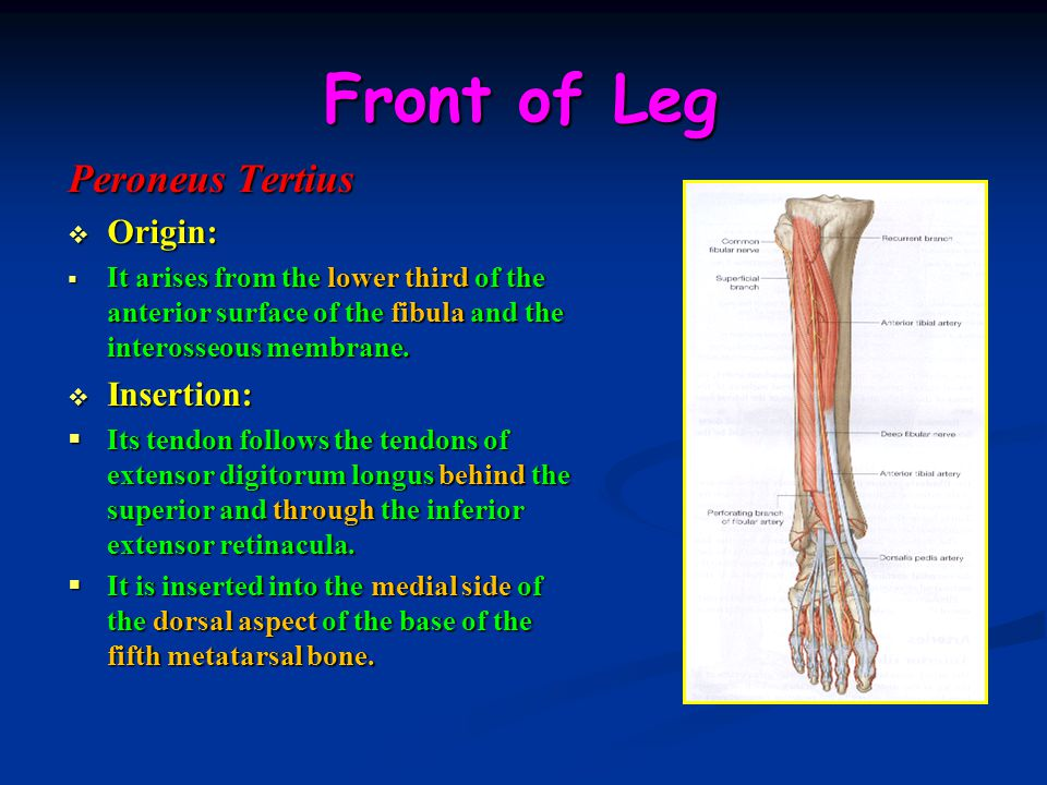 Front of Leg Peroneus Tertius Origin: Insertion: