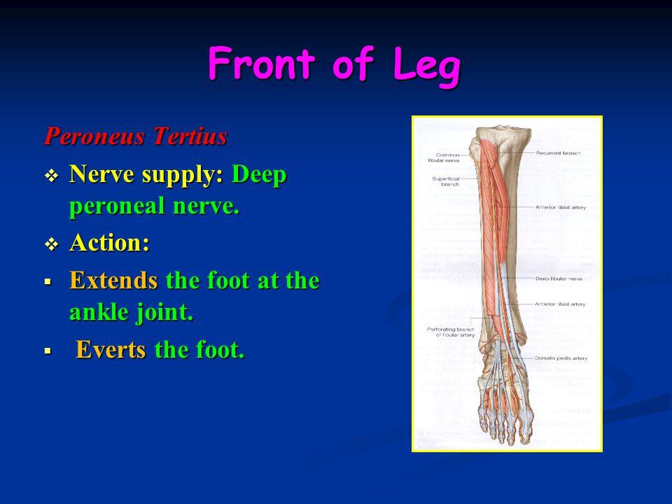 Front of Leg Peroneus Tertius Nerve supply: Deep peroneal nerve.