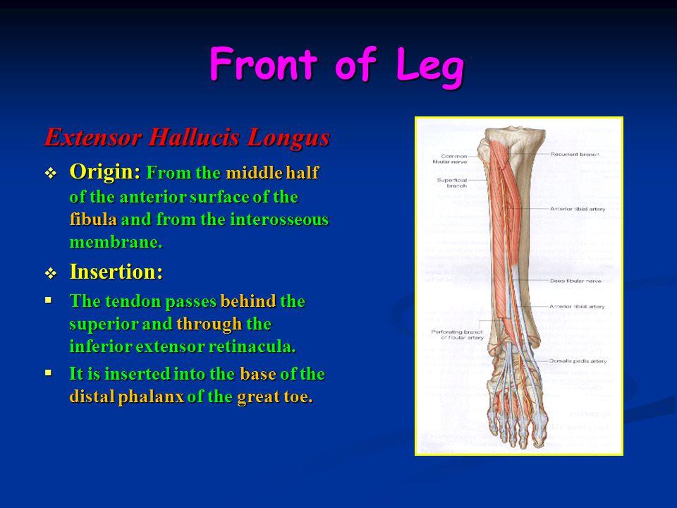 Front of Leg Extensor Hallucis Longus