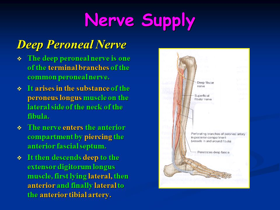 Nerve Supply Deep Peroneal Nerve