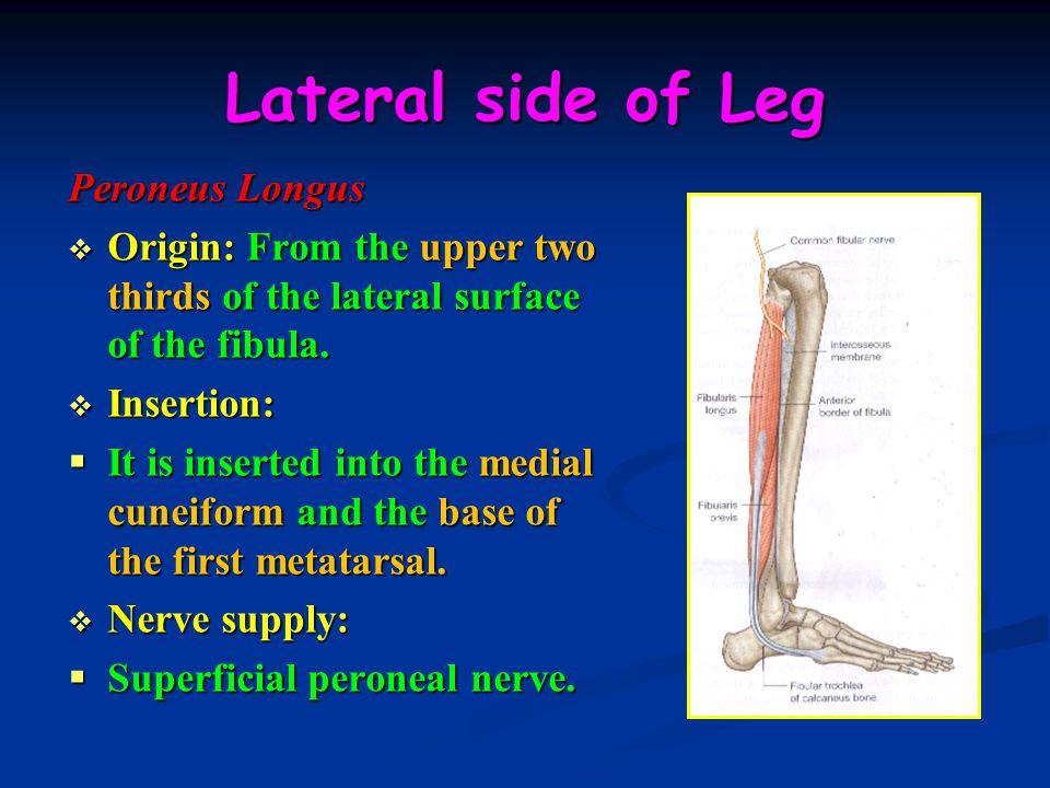 Lateral side of Leg Peroneus Longus