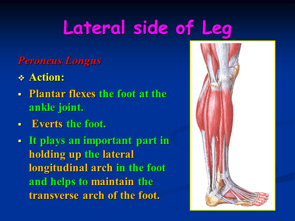 Lateral side of Leg Peroneus Longus Action: